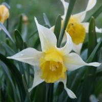 Narcisse Faux-Narcisse
