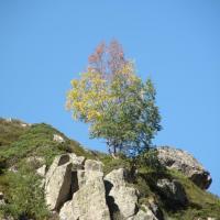 Bouleau au début de l'automne